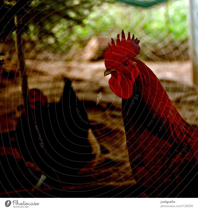 cock Rooster Barn fowl Pet Feather Poultry Beak Agriculture Farm Bird Red Free-roaming Colour Wing Peck Livestock breeding Comb Pride