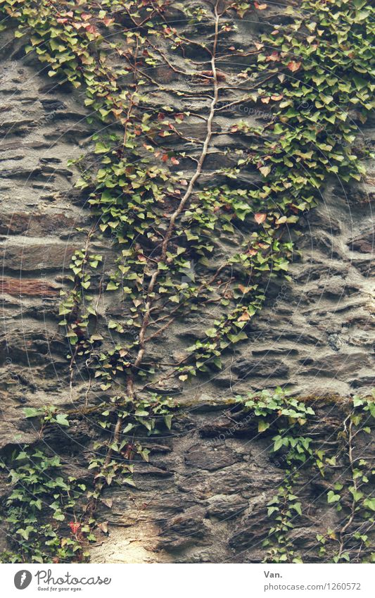 climbing mexe Nature Summer Plant Bushes Leaf Foliage plant Ivy Creeper Wall (barrier) Wall (building) Gray Green Tendril Stone Colour photo Subdued colour