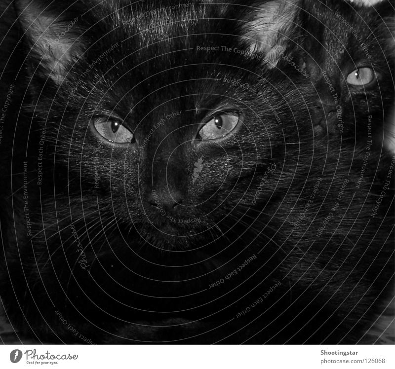 Look me in the eye Cat Whisker Motionless Deep Pet Meow Black Pelt Cuddling Looking Sweet Evil Mammal Cat eyes Observe Eyes 2 Behind one another Cuddly