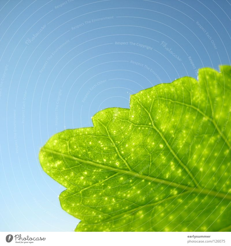 Nature Sky Green Blue Plant Leaf Colour Bright Background picture Near Branch Transparent Botany Vessel Sky blue Photosynthesis