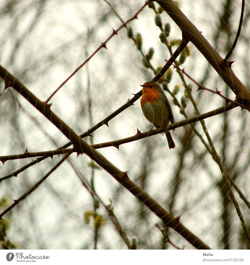 Robin winter (almost spring) Environment Nature Plant Animal Tree Bushes Branch Twigs and branches Bird Robin redbreast 1 Crouch Sit Free Small Natural Cute