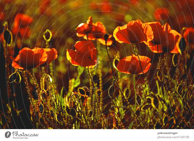 Plant Red Summer Animal Field Fragrance Poppy Pollen