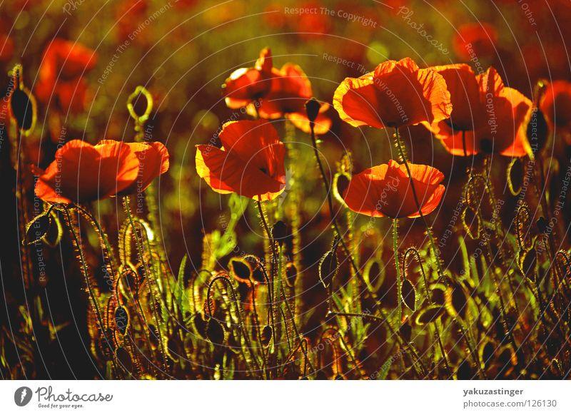 poppy Poppy Red Back-light Light Field Plant Animal Summer Fragrance Pollen