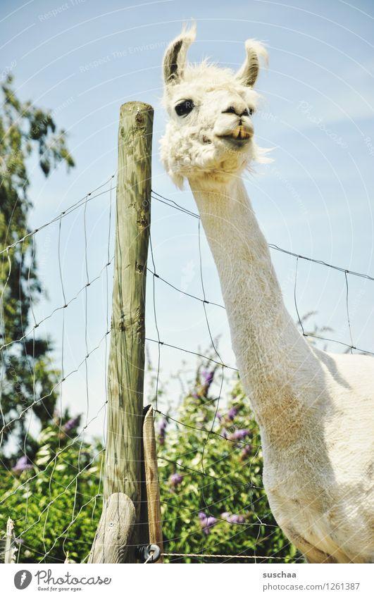 Plant Animal Agriculture Fence Pasture Ear Pelt Neck Pole Enclosure Llama Petting zoo