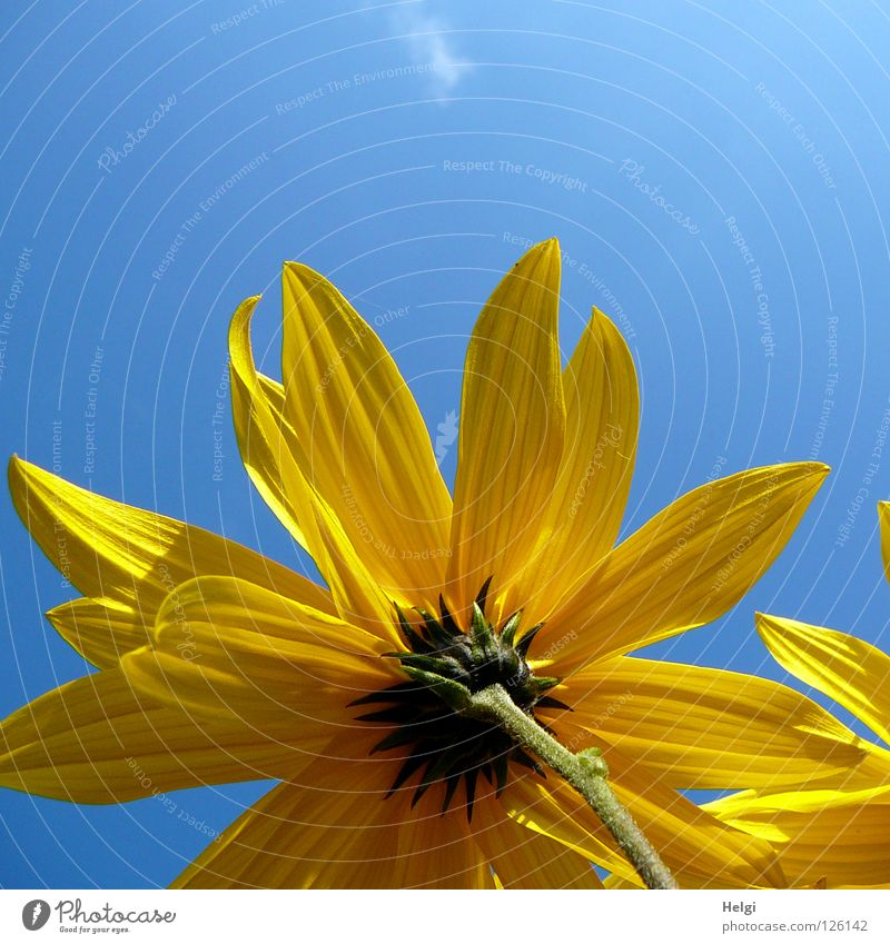 yellow blossom from the frog's eye view in front of a blue sky Flower Blossom Sunflower Blossom leave Stalk Side Side by side Towering Yellow Green Brown Long