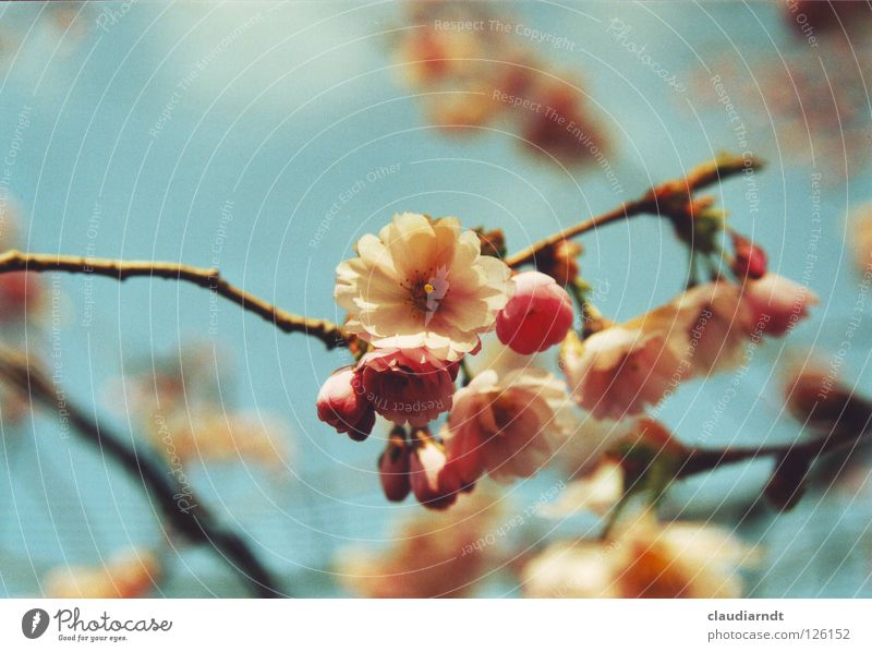 Plant Tree Flower Spring Blossom Pink Decoration Fresh Branch Blossoming Beautiful weather Seasons Delicate Asia Twig Bud