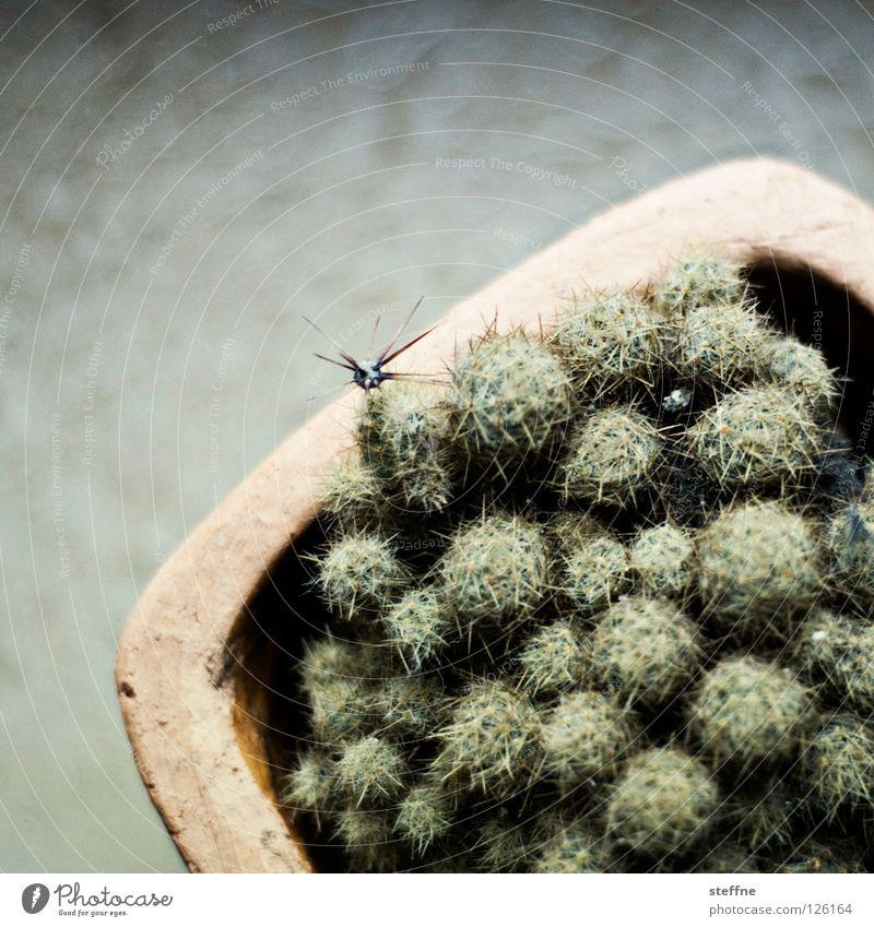 Green Plant Yellow Desert Pain Pot Song Mexico Cactus Thorn Thorny Houseplant Nursery rhyme