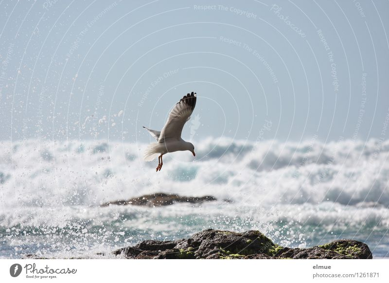 morning shower Nature Water Cloudless sky Beautiful weather Rock Waves Coast Bird Seagull 1 Animal Freedom Wing Movement Flying Elegant Fluid Fresh Infinity