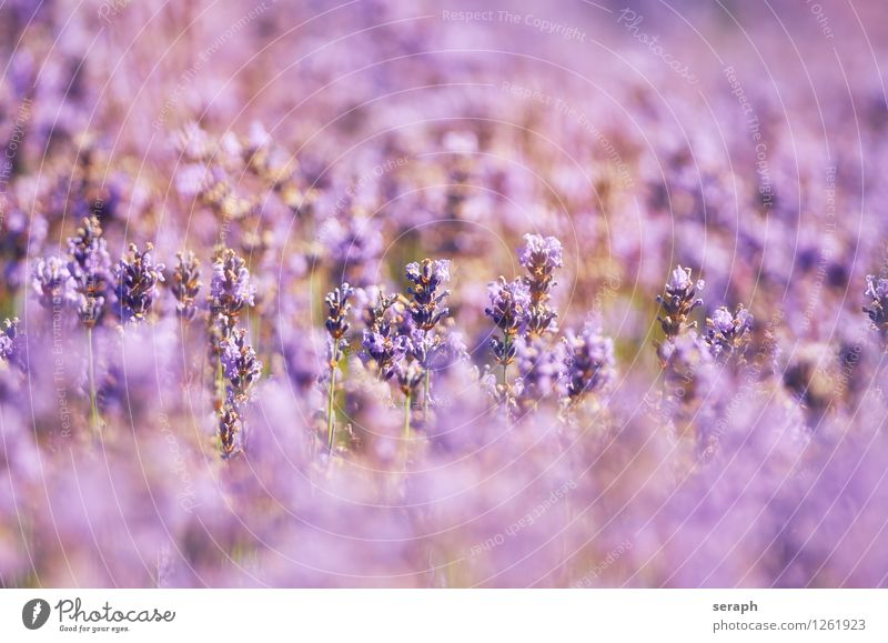 Lavender Aromatic Flourish Decoration Floral flamboyant Fragrant Alternative medicine Medication Natural Organic Ornate Romance Scent Flower Background picture