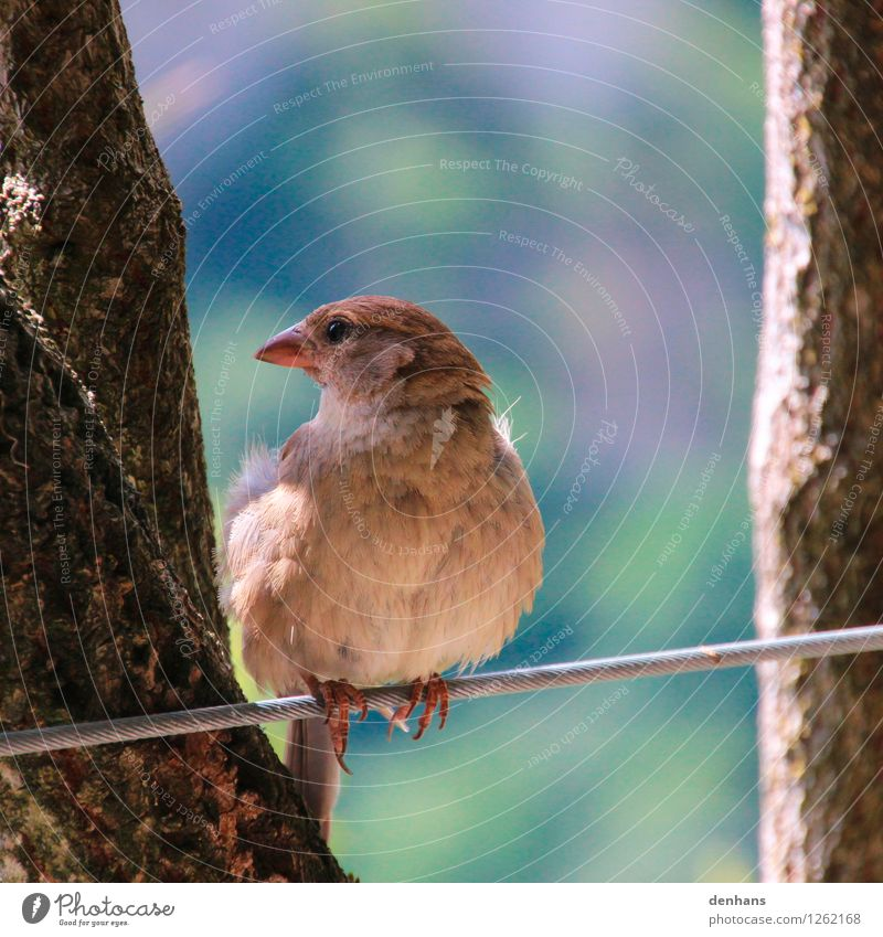 Dear sparrow... Zoo Animal Tree Bushes Garden Wild animal Bird Sparrow 1 Wire cable Sit Free Natural Cute Blue Brown Green Trust Safety Calm Life Timidity Ease