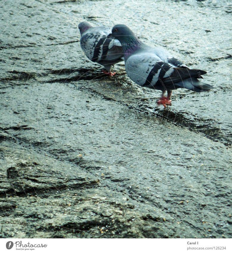 romantic walk!!! Pigeon Rutting season Bird Feather Pattern Matrimony Wet Flying Lake Romance Intrusive Together Switzerland Love Peace Walking Blue