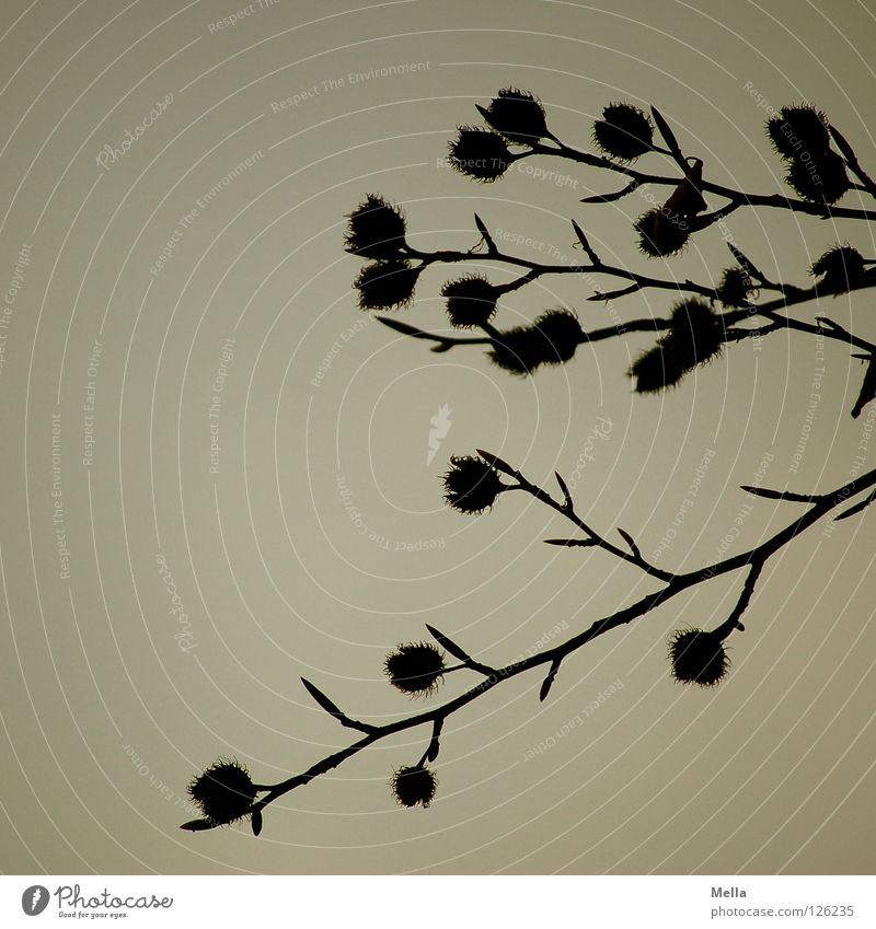 Nature Sky Tree Plant Dark Gray Environment Growth Gloomy Branch Natural Hang Sustainability Dreary Twigs and branches Beech tree