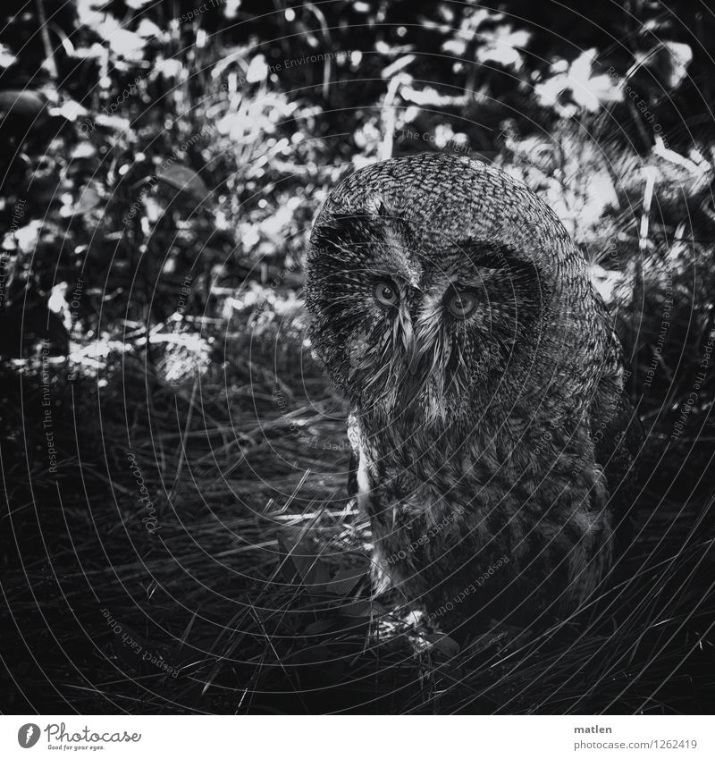 Look me in the eye Plant Tree Grass Animal Bird Animal face 1 Looking Dark Black White Owl birds Under Black & white photo Exterior shot Detail Deserted