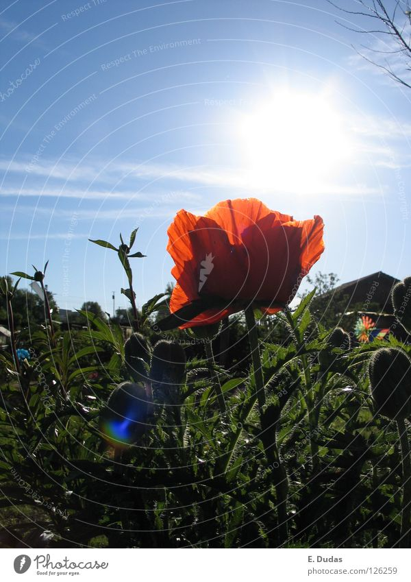 Sky Blue Green Beautiful Red Plant Sun Summer Flower Meadow Playing Spring Grass Park Poppy Gorgeous
