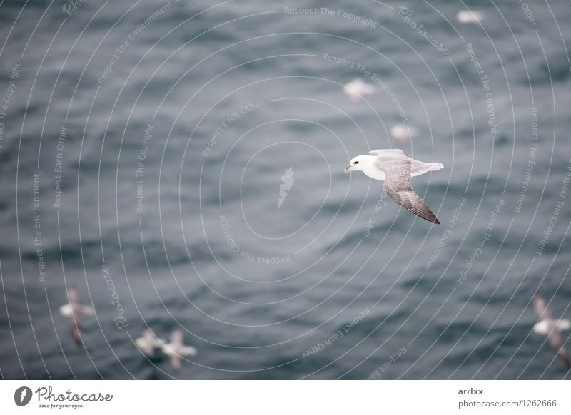 Northern fulmar flying over water Sky Nature White Ocean Animal Environment Gray Flying Bird Wind Wing Group of animals Story Gliding Span Sea bird