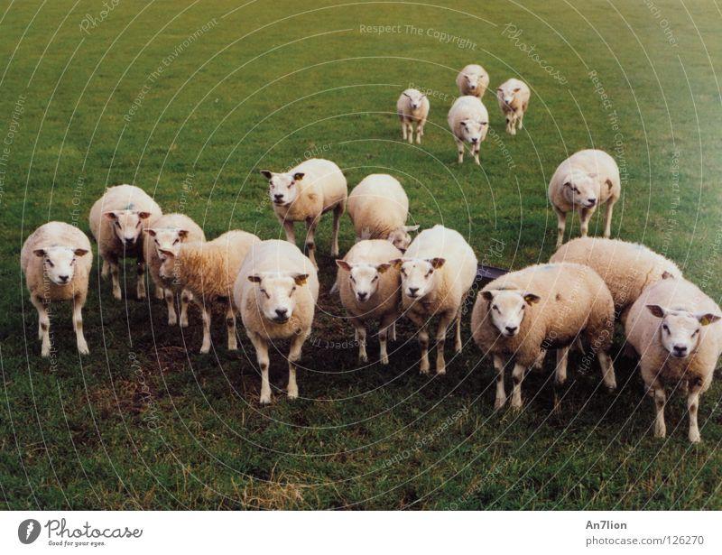 Maeäh her sheep Ameland Sheep Wool Green 17 Baaa Mammal Pasture
