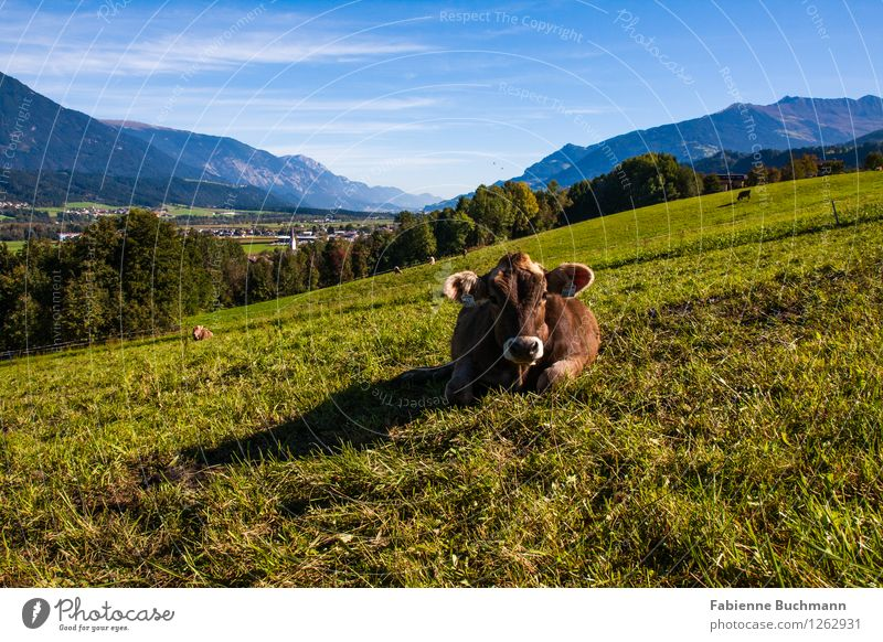 cuddly cow Landscape Plant Animal Sky Sunlight Autumn Beautiful weather Meadow Forest Alps Mountain Village House (Residential Structure) Farm animal Cow