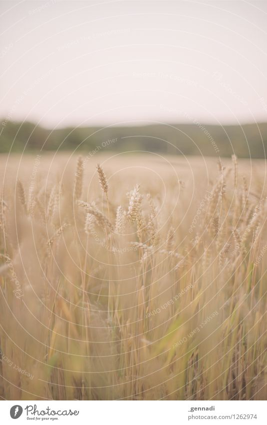 cereals Environment Nature Landscape Elements Plant Agricultural crop Grain Wheat Wheatfield Authentic Field Blade of grass Colour photo Exterior shot Deserted