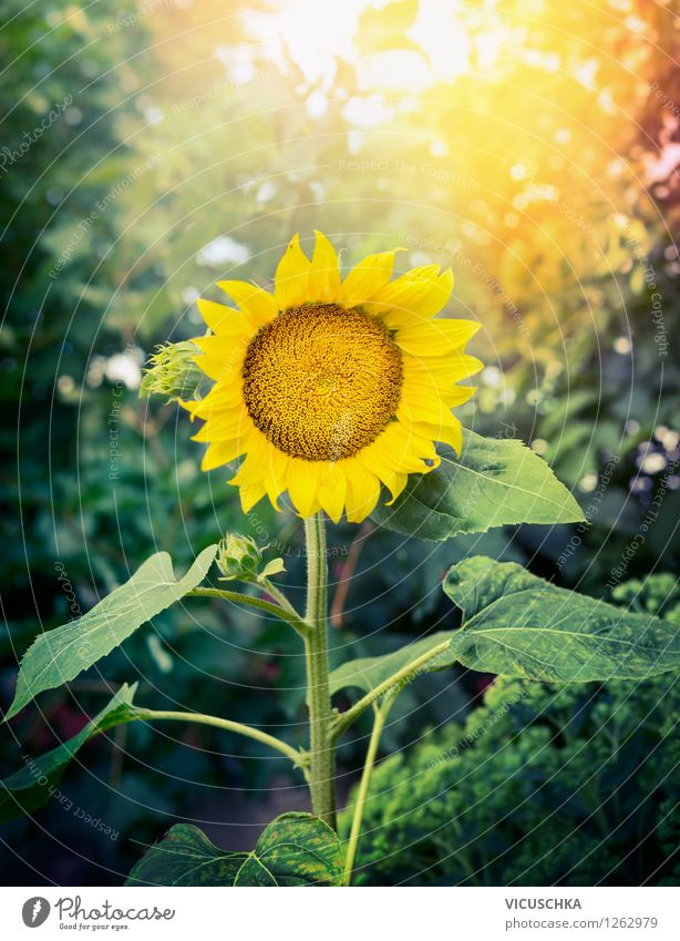 Nature Plant Beautiful Summer Sun Flower Yellow Autumn Style Background picture Garden Park Design Leisure and hobbies Decoration Beautiful weather
