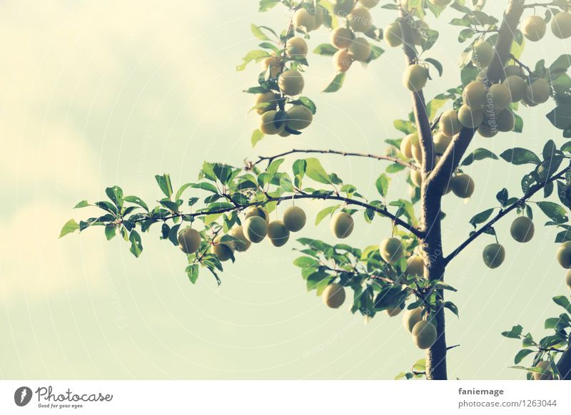 FRUITS Environment Nature Sky Summer Tree Fresh Healthy Yellow plum Twig Branch Twigs and branches Summery Garden Exterior shot Fruit garden Fruit trees Green