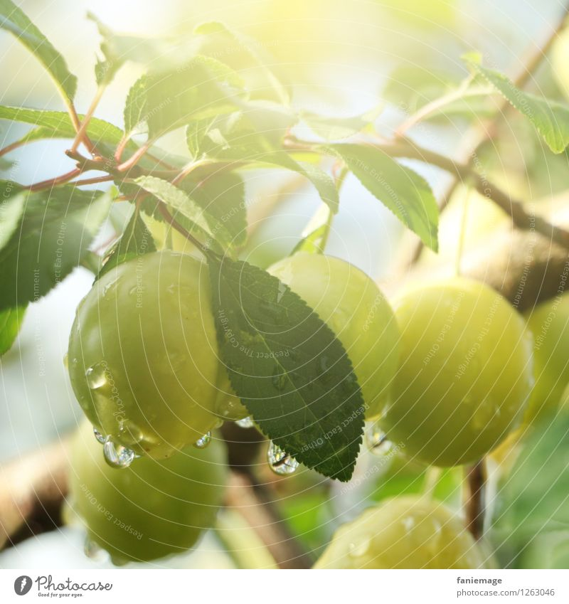 In the morning in the orchard Environment Nature Summer Leaf Fresh Healthy Yellow plum Green Fruit Fruit garden Windfall Bright green Dew Drop Drops of water