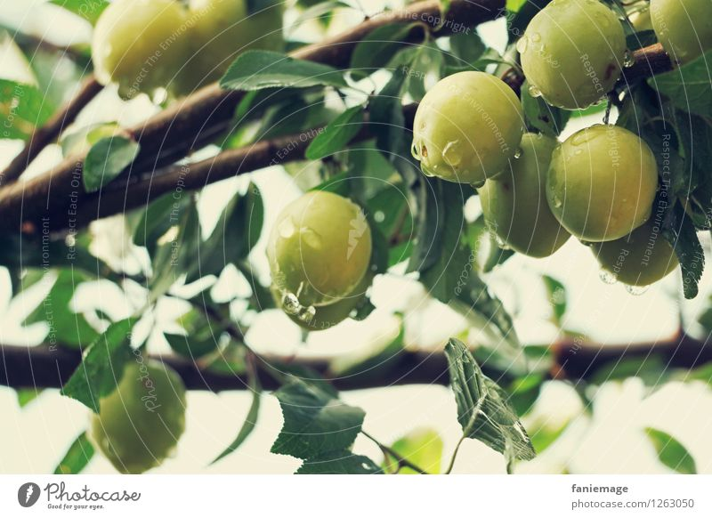 orchard Environment Nature Drops of water Summer Garden Fresh Healthy Yellow plum Organic produce Ecological Green Bright green Twigs and branches Delicious