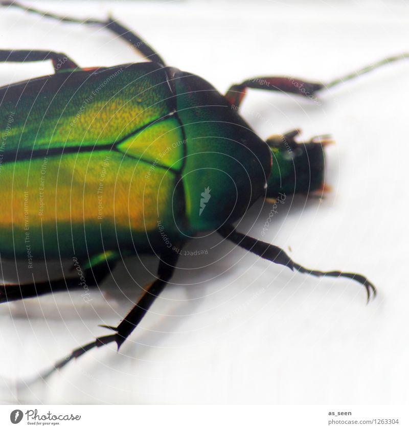 scarab Environment Nature Animal Beetle Insect Rose beetle Insect repellent Leg of a beetle Glittering Crawl Illuminate Esthetic Exotic Creepy Natural Green