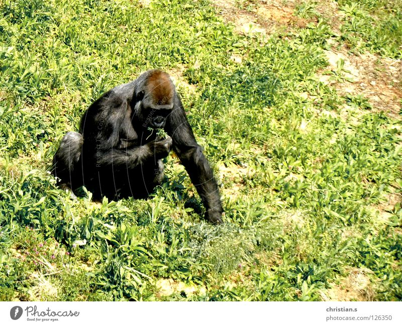 Gorilla gorilla gorilla gorilla Zoo Grass Green Monkeys Animal Mammal western lowland gorilla Nutrition monkey mamma eating