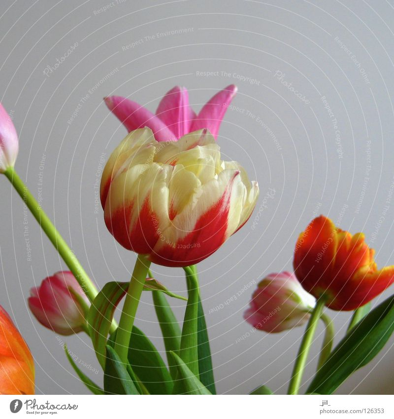 tulips Tulip Blossom Flower Multicoloured Difference Life Versatile Muddled Mixture Humor Dress up Crown Yellow Red Pink Green Gray Beautiful Multiple plump