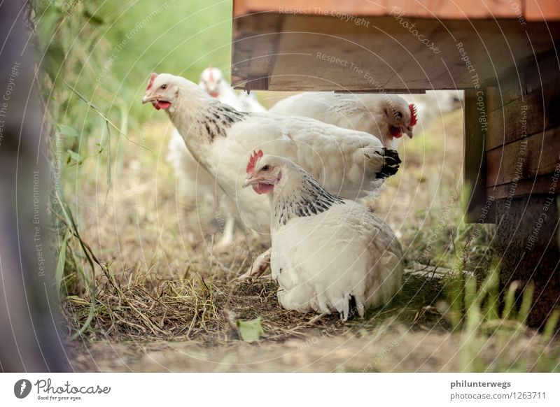 Rooster in the basket? Nature Animal Grass Garden Meadow Pet Farm animal Bird Animal face Barn fowl 3 Group of animals Animal family Observe Feeding Listening