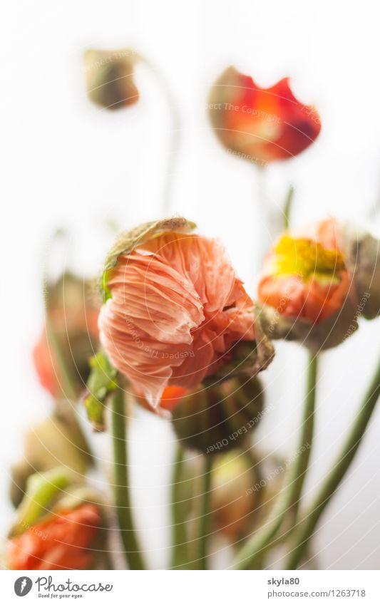 Colourful flowers Poppy poppy flower Fragile Delicate Leaf green Nature Plant spring Deploy Growth Packaged Opium poppy Corn poppy Poppy blossom Environment