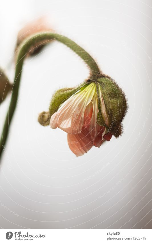 pale pink Poppy poppy flower Fragile Delicate Blossom leave bleed Nature Leaf green flowers spring Growth Garden Plant Packaged Deploy wrapped Opium poppy