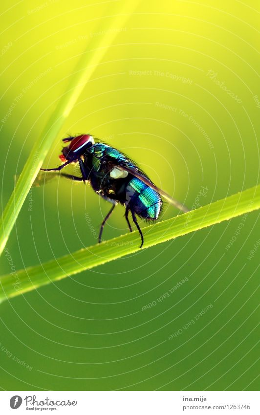 Gold Fly II Environment Nature Summer Grass Animal Wild animal Beetle Wing 1 Glittering Crawl Athletic Small Blue Yellow Green Blade of grass Greenbottle fly