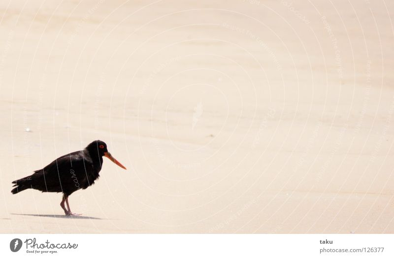 Beach Black Loneliness Freedom Sand Bird Flying Feather Animal Nest