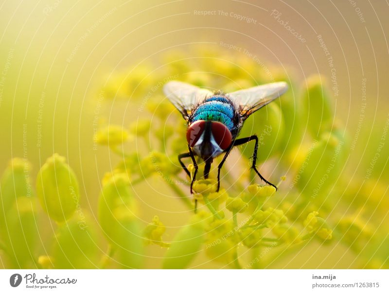 gold fly Environment Nature Plant Spring Summer Beautiful weather Flower Wild plant Garden Park Animal Wild animal Fly Beetle Animal face Wing 1 Flying To feed