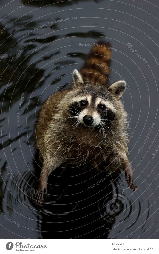 FEED ME! Environment Nature Water Summer Park Lakeside Pond New York City Manhattan Central Park Animal Wild animal Raccoon 1 Looking Stand Wait Brash Small Wet