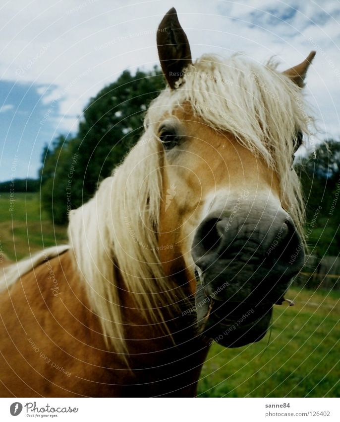 Summer Grass Laughter Wind Horse Pasture To feed Mammal Mane Haflinger Nostrils