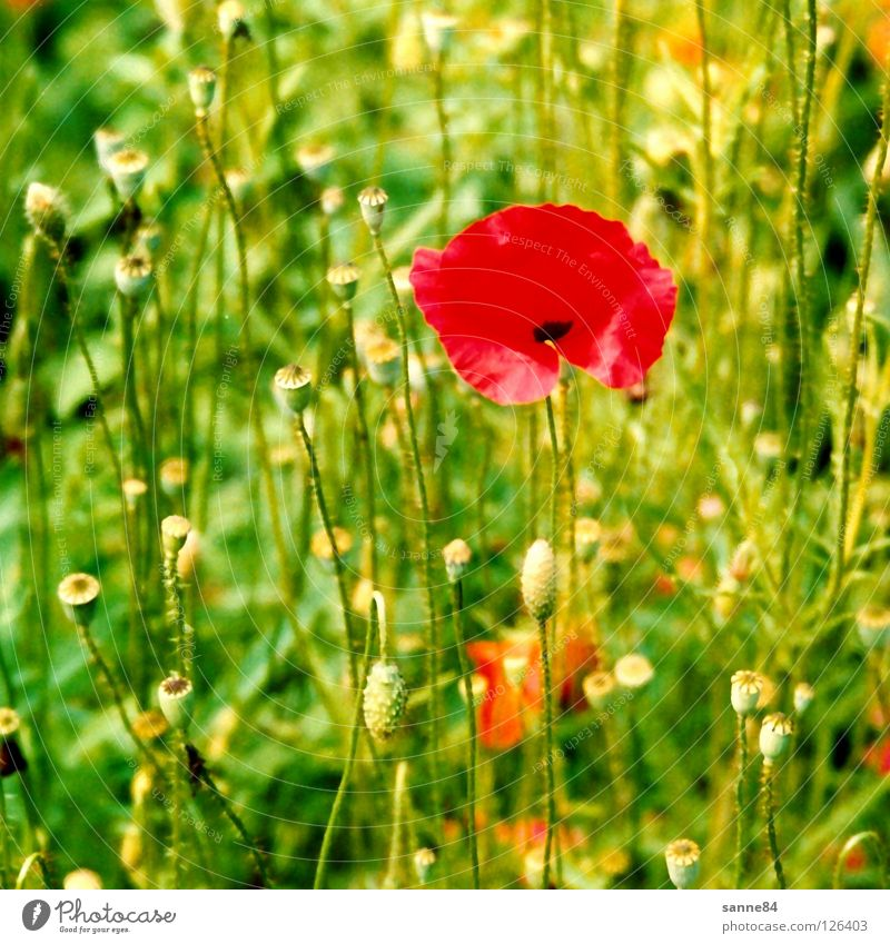 poppy Poppy Meadow Flower Red Green Summer Switzerland Physics Vacation & Travel Canton Bern Warmth