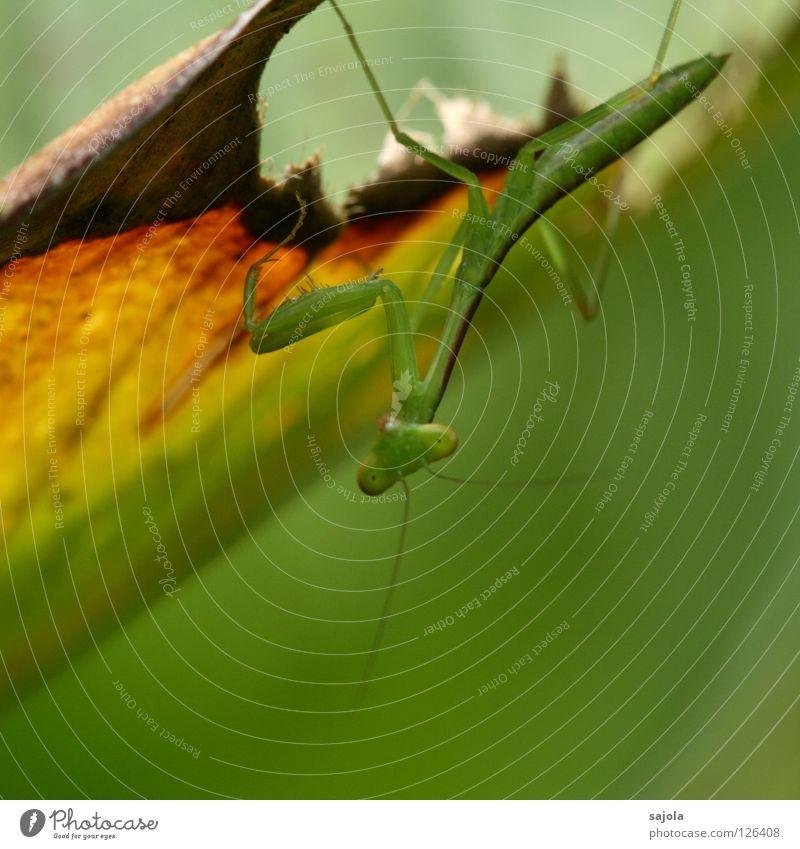 praying mantis Animal Leaf Wild animal Insect Praying mantis Locust 1 Brown Green Colour Feeler Hind leg Camouflage Carnivore Triangle Adjustment Animal face