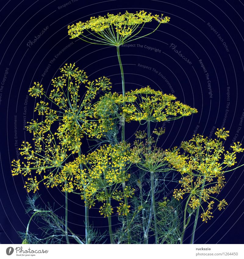 Dill; Anethum graveolens; Dilldolde; Blueten Herbs and spices Style Blossoming Free Yellow Black dill umbels Medicinal plant kitchen spice aromatic herb