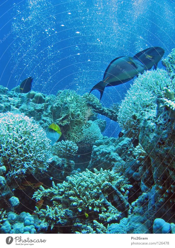Ocean Underwater photo Fish Dive Air bubble Coral Red Sea Surgeon fish