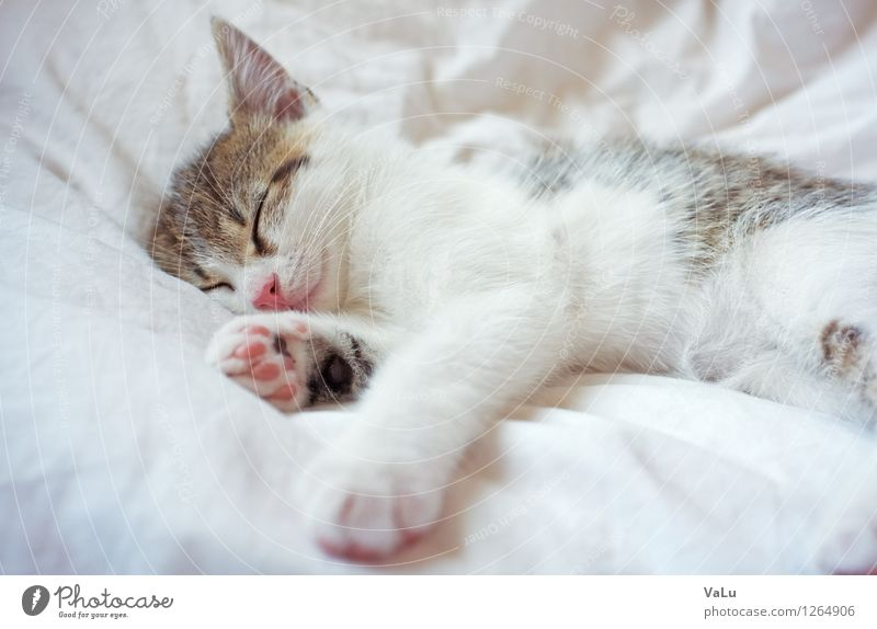 zZzzZ Bed Animal Pet Cat Animal face Pelt Paw 1 Baby animal Lie Sleep Dream Bright Brown Pink White Safety (feeling of) Love of animals Calm Kitten Colour photo