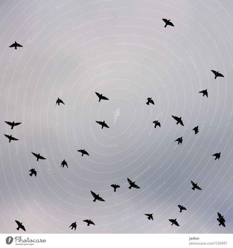31 Bird Flock of birds Far-off places Flying Silhouette Brandenburg Sky Aviation Flight of the birds Arrangement leaked out Trip Wing Profile