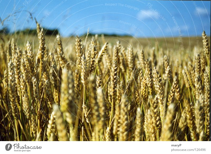 A Danish summer day Summer Cornfield Good mood Longing Blue sky Close-up summer wind View into the distance