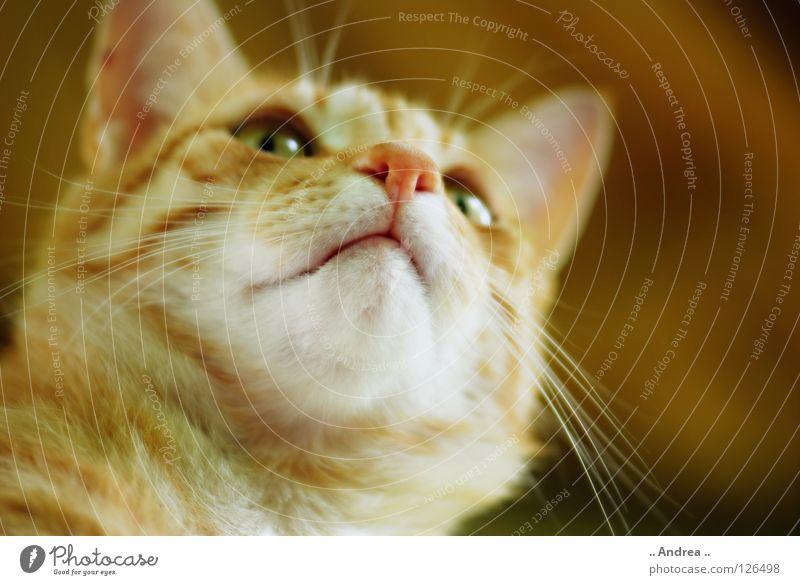 Cat Red Nose Pelt Mammal Domestic cat Whisker
