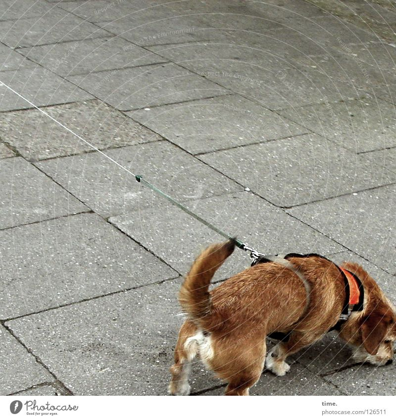 Street Dog Lanes & trails Legs Brown Concrete Rope Communicate Sidewalk Traffic infrastructure Cobblestones Odor Mammal Tails Pull Nerviness