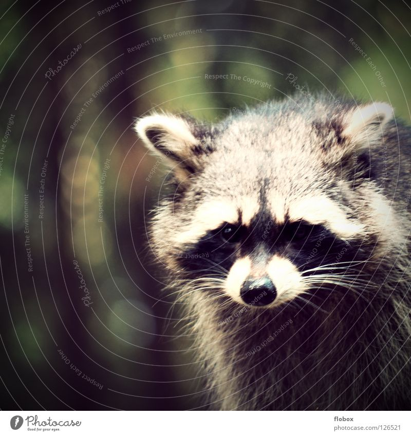 Animal Park Pelt Zoo Cute Obscure Captured Mammal Bear Enclosure Cage Bushy Disheveled Land-based carnivore Raccoon