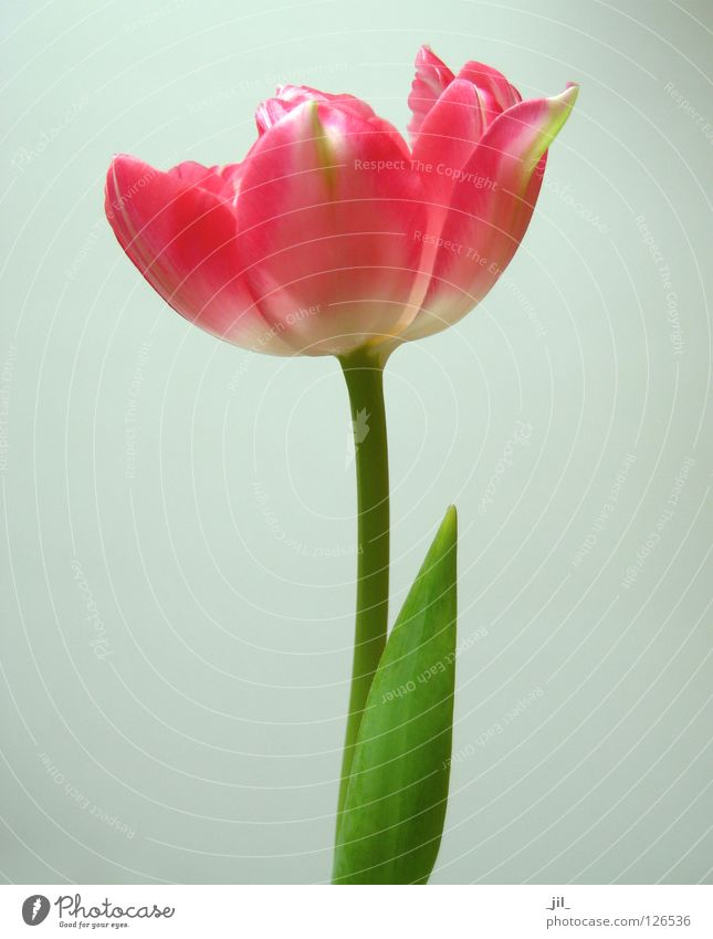 Beautiful White Flower Green Plant Red Life Blossom Gray Pink Force Delicate Tulip