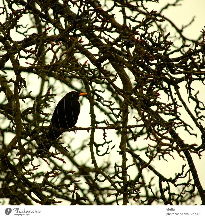 Blackbird winter II Environment Nature Tree Bushes Branch Twigs and branches Park Animal Bird Throstle 1 Crouch Sit Natural Gloomy Gray Colour photo