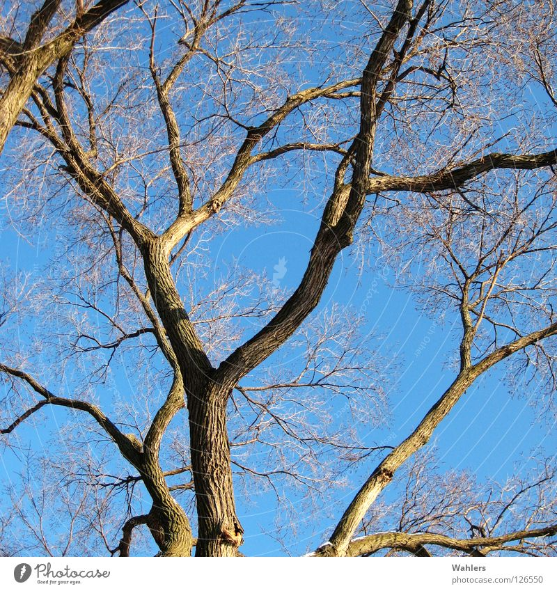 Sky Tree Blue Winter Leaf Wood Thin Branch Dry Tree trunk Treetop Fork Junction